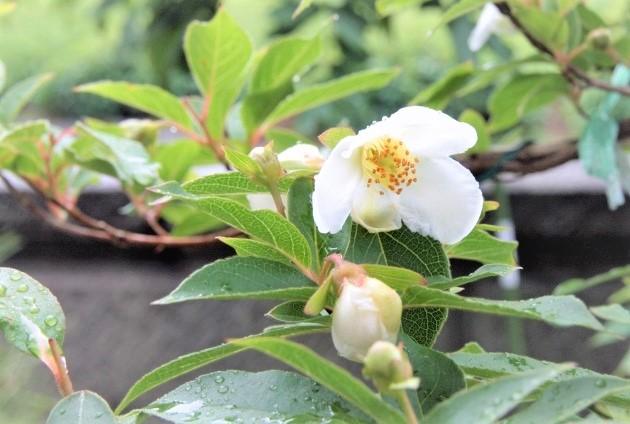 ヒメシャラは白い花が魅力