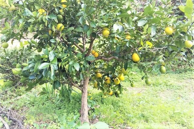 レモンの地植え