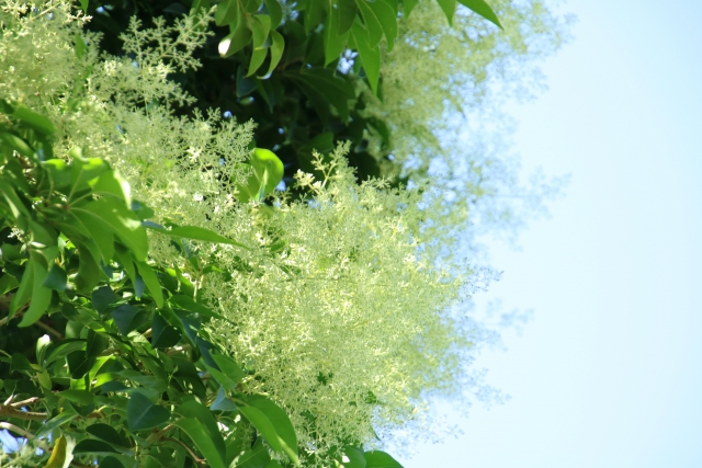 庭のシマトネリコ