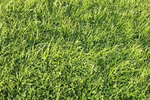 芝生のスギナ対策
