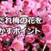 しだれ梅のお手軽、剪定方法|花を咲かすポイント&お手入れのコツ